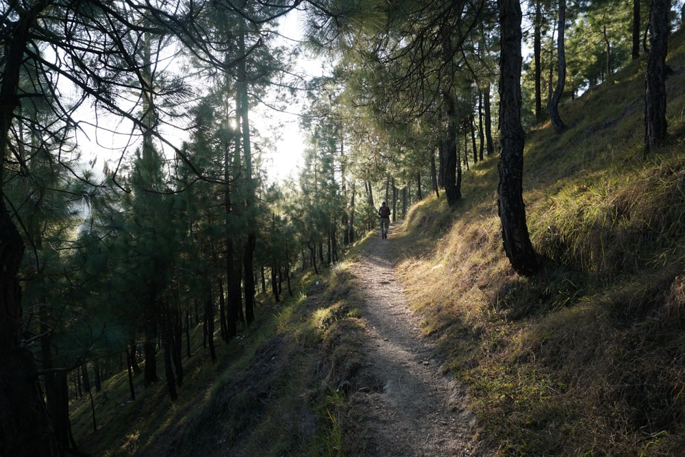 Enchanted walk through the pine and cedar forest. The way to Naughar.